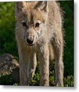 Arctic Wolf Pictures 345 Metal Print