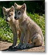 Arctic Wolf Pictures 346 Metal Print