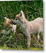 Arctic Wolf Pictures 347 Metal Print