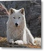 Arctic Wolf Pictures 518 Metal Print