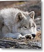 Arctic Wolf Pictures 526 Metal Print