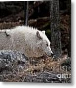Arctic Wolf Pictures 541 Metal Print