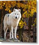 Arctic Wolf Pictures 709 Metal Print