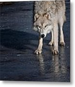 Arctic Wolf Pictures 766 Metal Print
