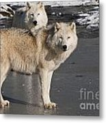 Arctic Wolf Pictures 812 Metal Print
