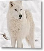 Arctic Wolf Pictures 844 Metal Print