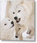 Arctic Wolf Pictures 872 Metal Print