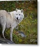 Arctic Wolf Pictures 922 Metal Print