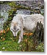 Arctic Wolf Pictures 927 Metal Print