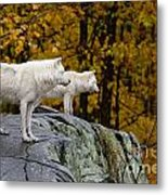 Arctic Wolf Pictures 930 Metal Print