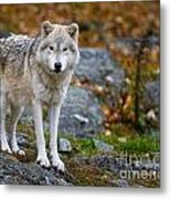 Arctic Wolf Pictures 942 Metal Print