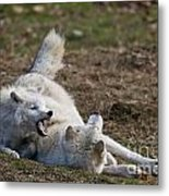Arctic Wolf Pictures 996 Metal Print