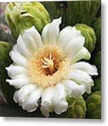 Arizona State Flower The Saguaro Blossom Metal Print