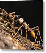 Army Ant Carrying Cricket La Selva Metal Print