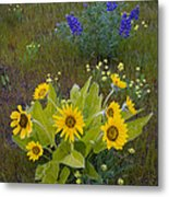 Arrowleaf Balsamroot And Lupine Metal Print