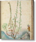 Artemisia Abrotanum Metal Print