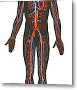 Arteries And Veins Of The Human Body Metal Print