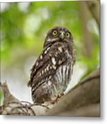 Asian Barred Owlet Metal Print