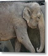 Asian Elephant Metal Print