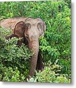 Asian Elephant  Elephas Maximus Metal Print