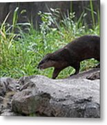 Asian Small Clawed Otter - National Zoo - 01135 Metal Print