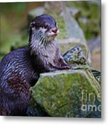Asian Small Clawed Otter Metal Print