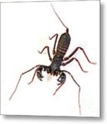Asian Whipscorpion Metal Print