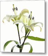 Asiatic Lily Flowers Against White Metal Print