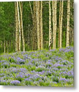 Aspen And Lupine Metal Print