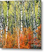 Aspen And Maple Trees In Autumn Metal Print
