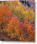 Aspen Grove In Fall Colors Metal Print