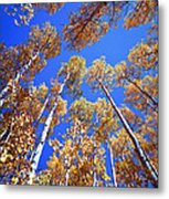 Aspen Tree Tops Metal Print