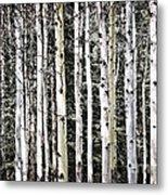 Aspen Tree Trunks Metal Print