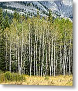 Aspen Trees Along The Bow Valley Metal Print