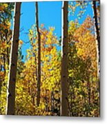 Aspen Trees In Fall Metal Print