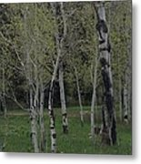 Aspens In The Spring Metal Print by Shawn Hughes
