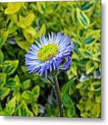 Aster Daisy Metal Print