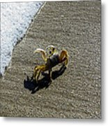 Atlantic Ghost Crab Metal Print