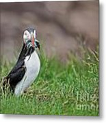 Atlantic Puffin With Sandeels Metal Print