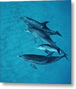 Atlantic Spotted Dolphin Adults Metal Print