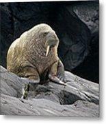 Atlantic Walrus Bull On Rocky Shore Metal Print