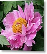 Attractive Pink Peony Metal Print