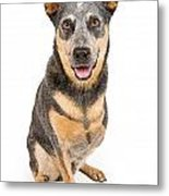 Australian Cattle Dog With Missing Leg Isolated On White Metal Print