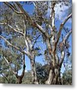 Australian Native Tree 12 Metal Print