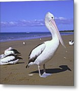 Australian Pelican On Beach Metal Print