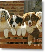 Australian Sheepdog Puppies Metal Print