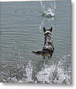 Australian Shepherd Fun At The Lake Chasing The Ball Metal Print