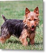 Australian Terrier Dog Metal Print