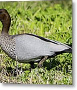 Australian Wood Duck Metal Print