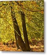 Autumn Beeches Metal Print